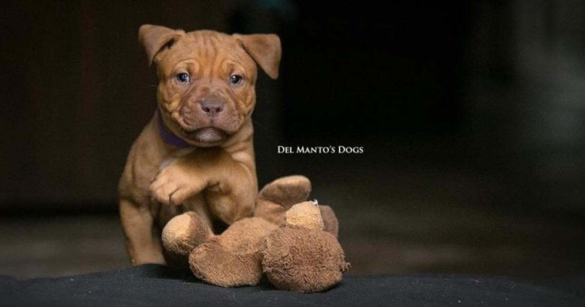 """O cachorro Pitbull é """"naturalmente violento""""? Conheça a raça"""
