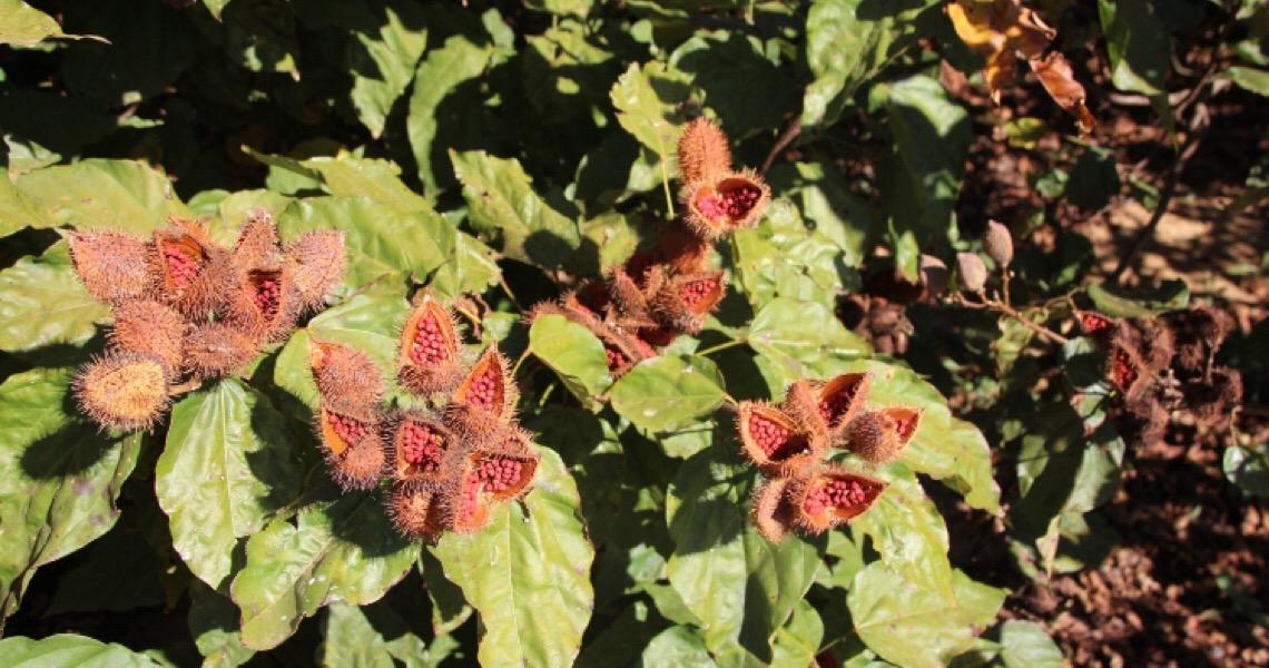 Cultivo de urucum desperta atenção de produtores do Distrito Federal