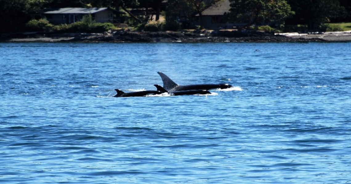 Orcas avistadas em águas portuguesas