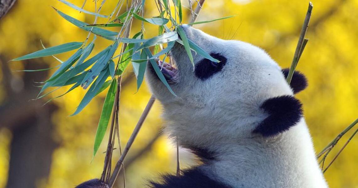 Por que não temos pandas no Zoológico de Brasília?
