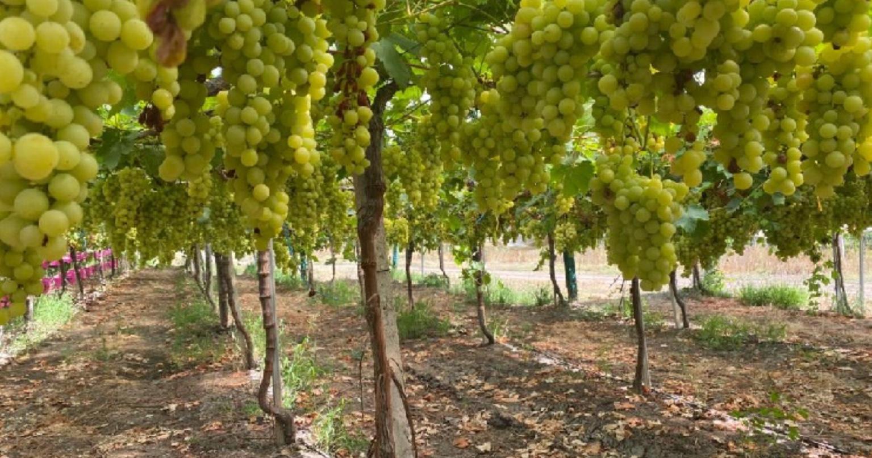 Ministra da Agricultura visita maior produtor de uva sem grainha e de laranja de Portugal
