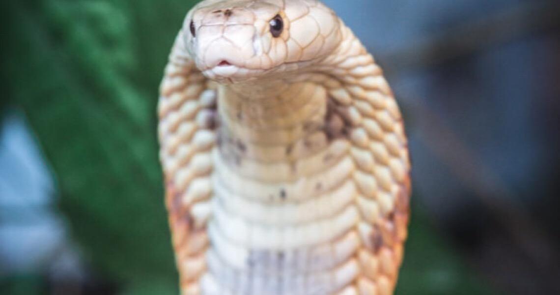 Zoo explica decisão inicial de não manter naja-monóculo