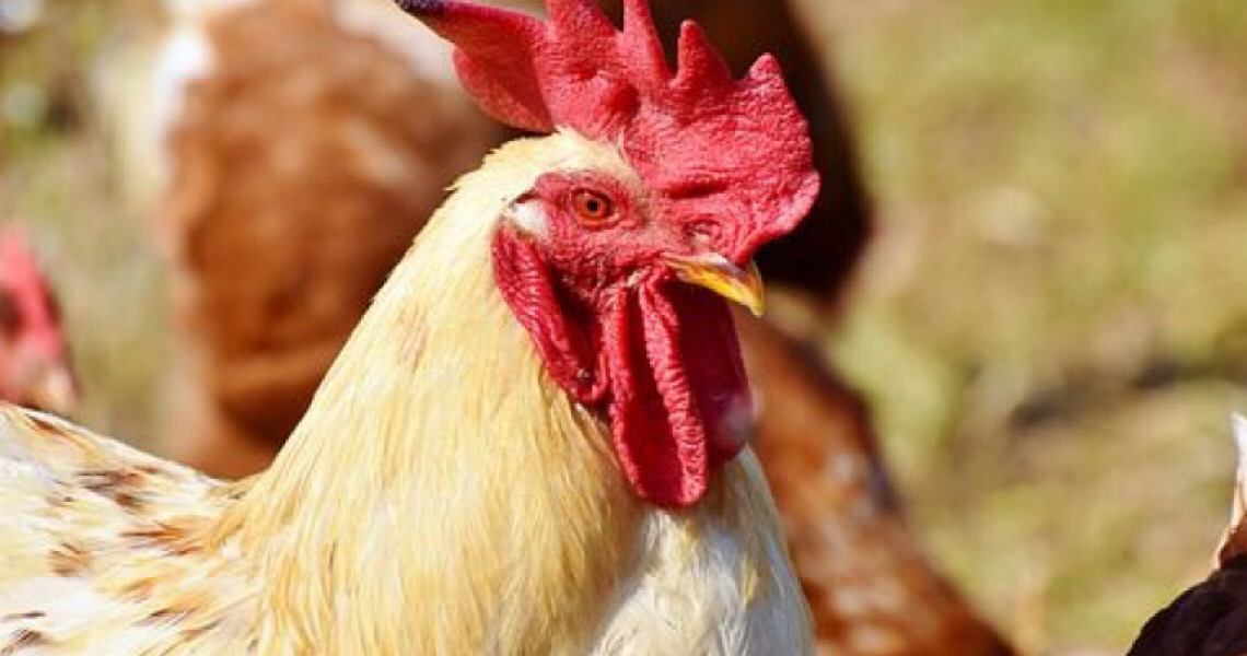 O que já se sabe sobre o frango com coronavírus exportado para a China