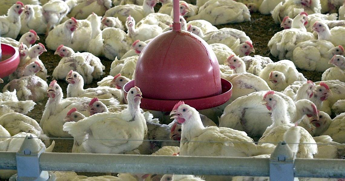 Hong Kong veta importação de frango de frigorífico brasileiro