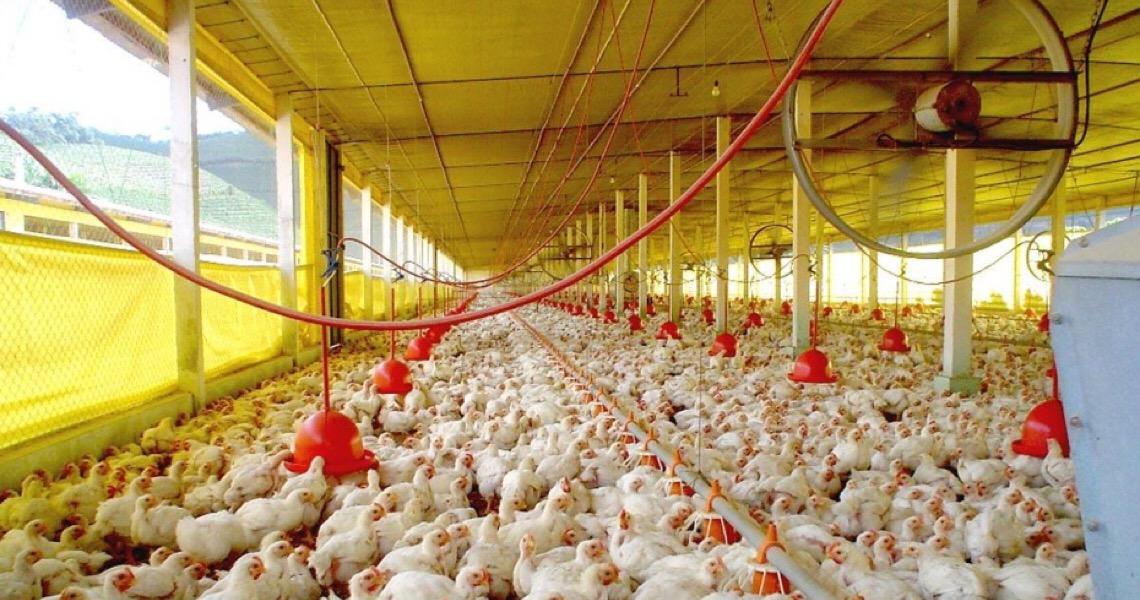 Amostras de carne de frango do Brasil testam negativo para Covid em Hong Kong