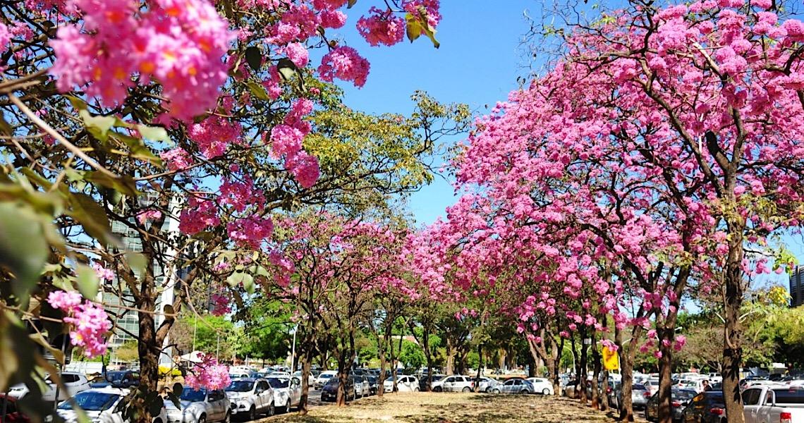 Ipês colorem o Distrito Federal na seca, a caminho da primavera