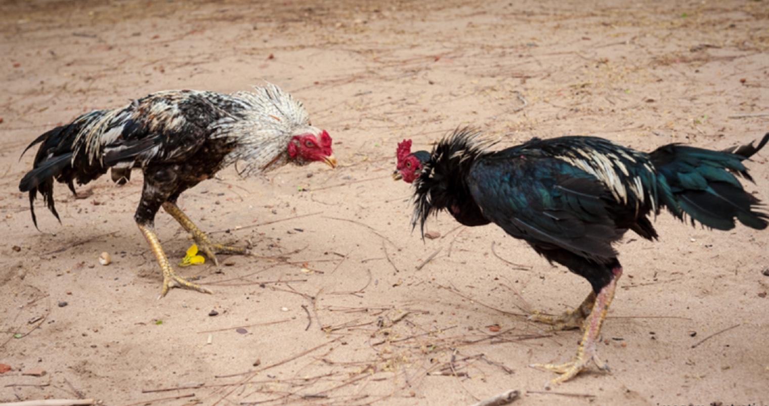 Turma Recursal do TJ do DF confirma condenação de criador de galos por maus-tratos contra animais