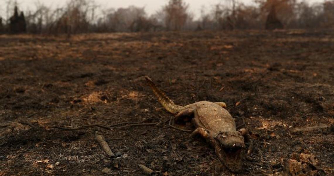 Fogo avança sobre o Pantanal e mata animais ameaçados
