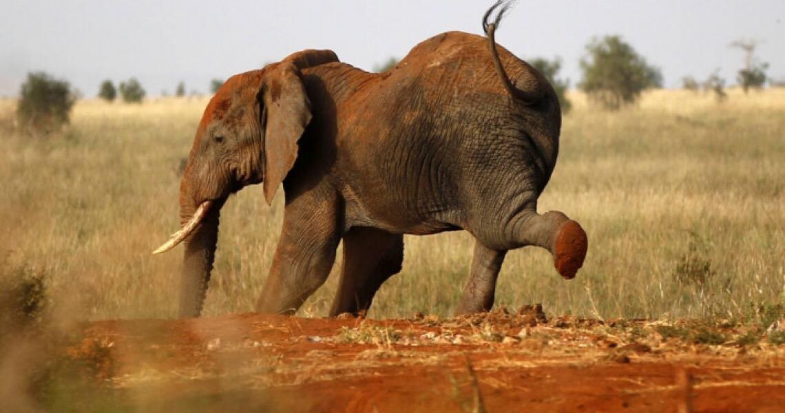 PF e Ibama miram contrabando internacional de marfim para obras de arte
