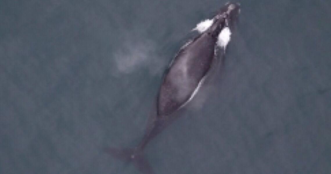 As baleias estão atacando barcos nas costas da Espanha e de Portugal