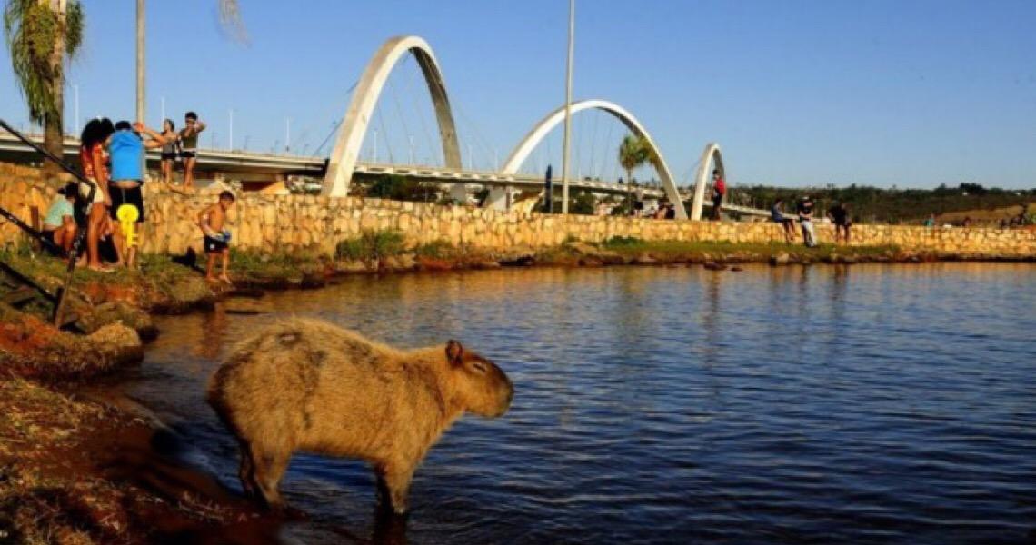 Capivaras deixam população que vive no Lago Norte e Sul em alerta
