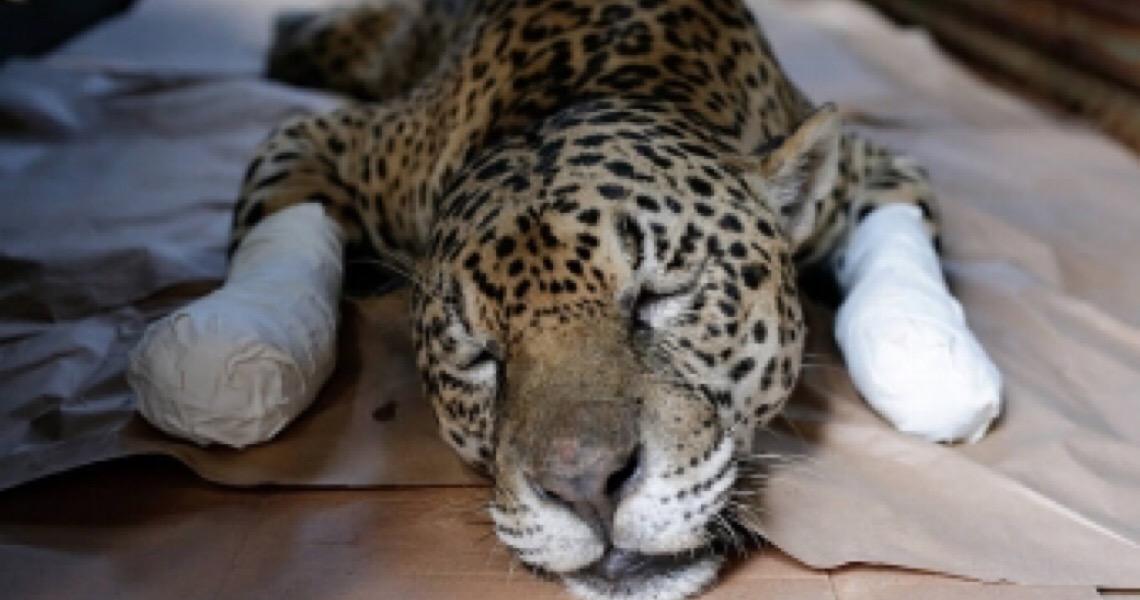 Bolsonaro cancela ida ao Pantanal para soltar onça salva de incêndio