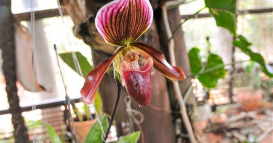 Jardim Botânico de Brasília investe em orquídeas raras. Laboratório será ampliado