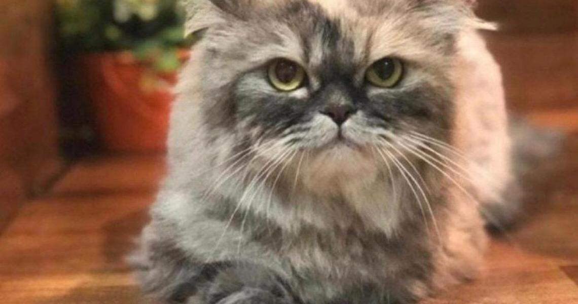 Conheça Katarina, a gata persa pivô de disputa judicial entre ex-casal