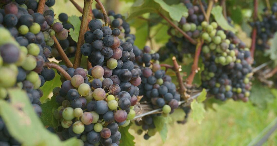 Produção de uva tem espaço para crescer no DF