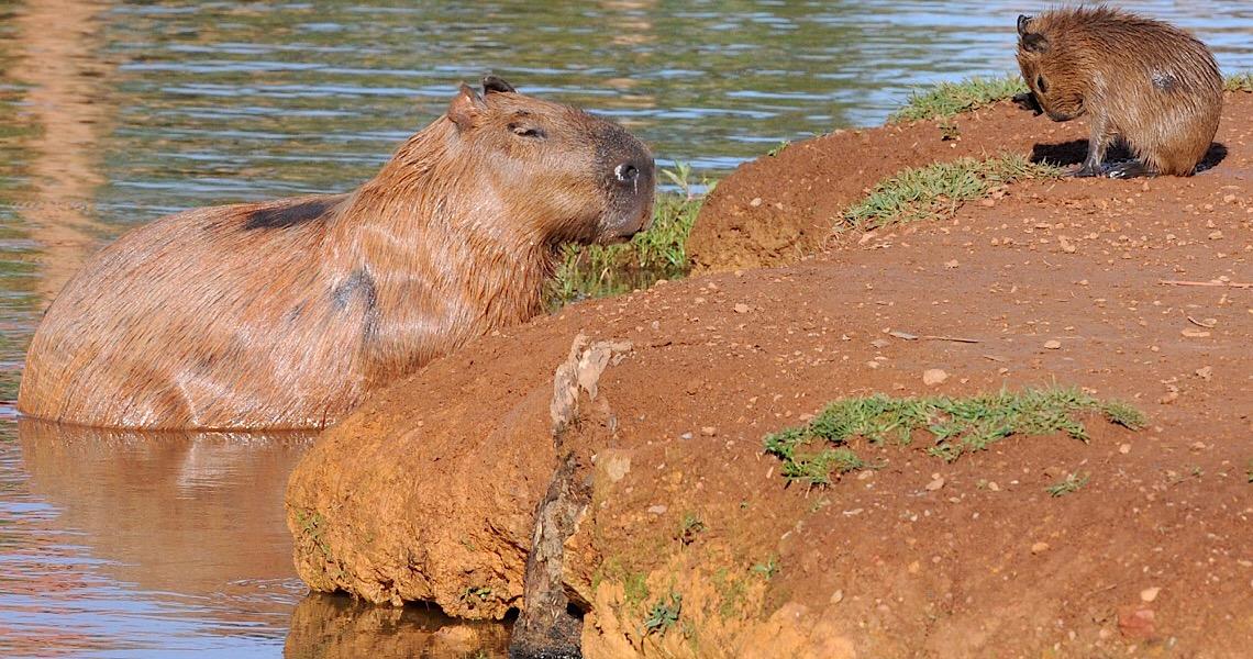 Brasília Ambiental e Secretaria de Saúde elaboram pesquisa sobre capivaras no Lago Paranoá