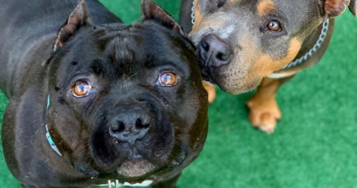 Cachorros da raça American Bully são realmente agressivos?