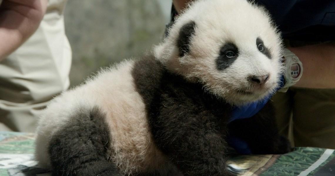 Filhote de panda gigante recebe nome em zoológico dos EUA