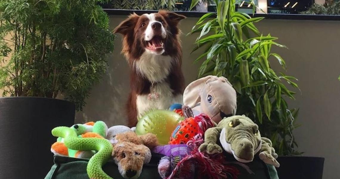 Quem é o cachorro mais inteligente? A competição já começou