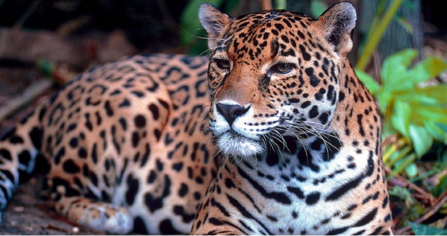 Dia Internacional da Onça Pintada pede mais esforços para conservação da espécie