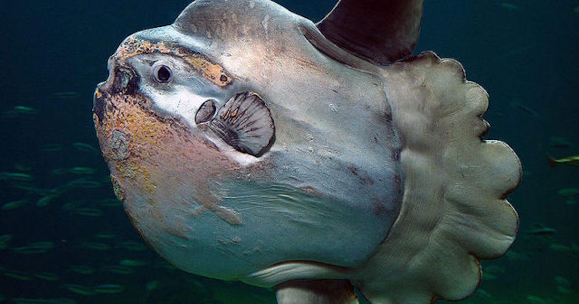 Peixe-lua: Criatura estranha e ameaçada de extinção