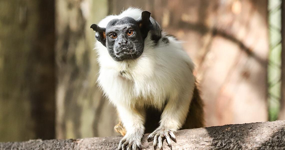 Primatas ameaçados de extinção nascem no zoo de Brasília
