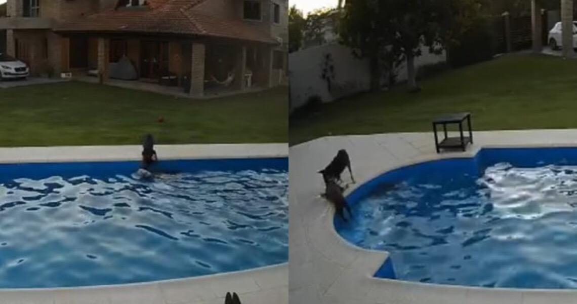 Filhote salva cachorra de 14 anos que caiu na piscina; assista
