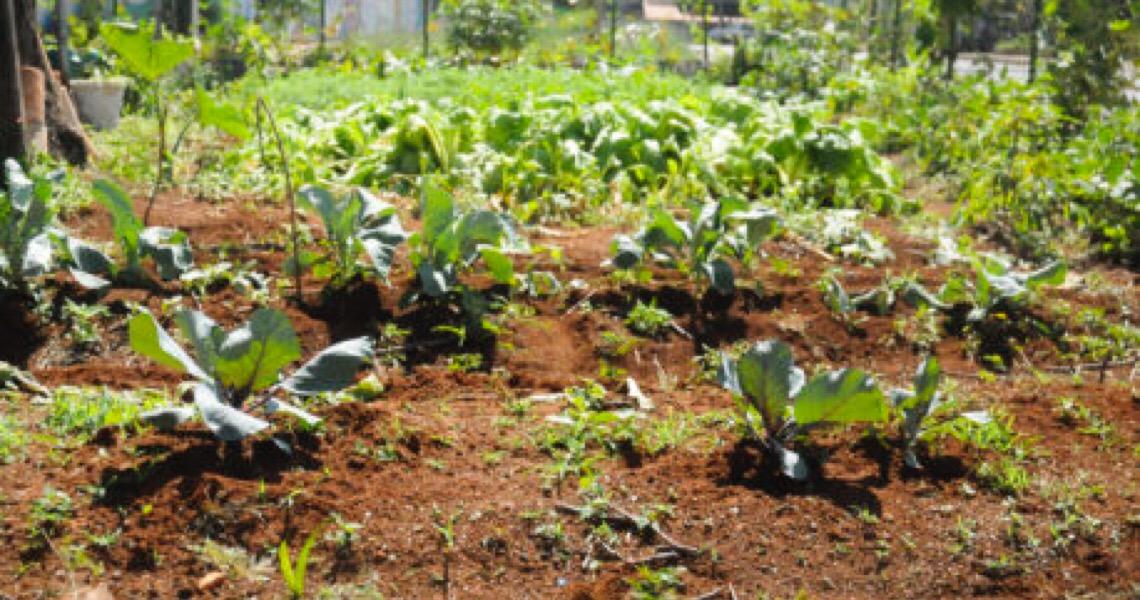 Horta solidária reforça rede de doação de alimentos