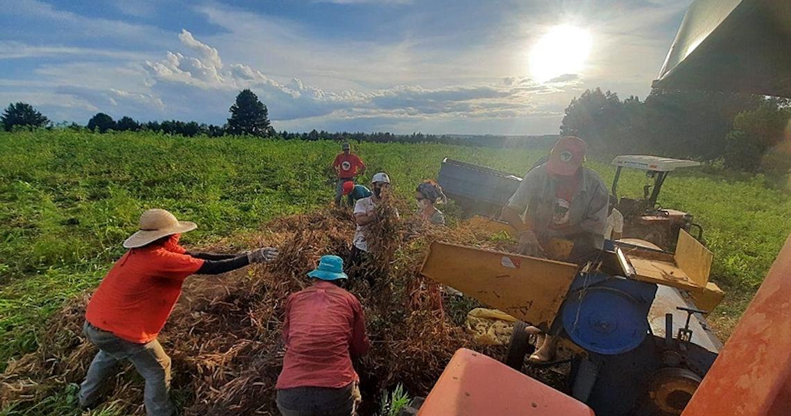 Após colheita coletiva, feijão orgânico do MST chega a famílias carentes no Paraná