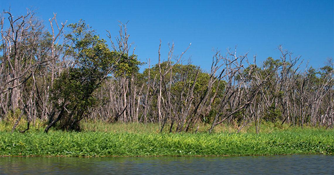 Mangue de Iguape agoniza, quase 70% da floresta morta