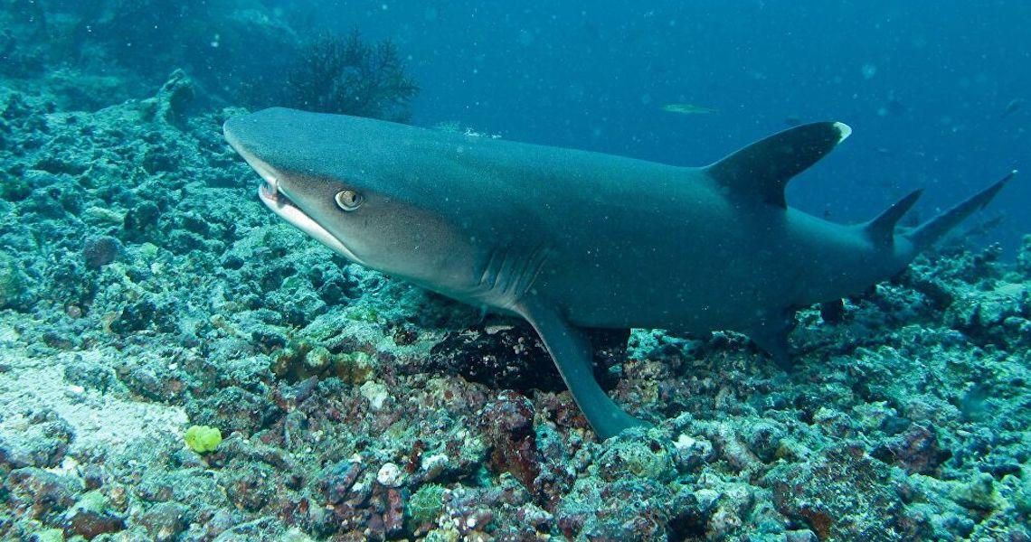 Predador brilhante: Cientistas descobrem maior tubarão que emite luz