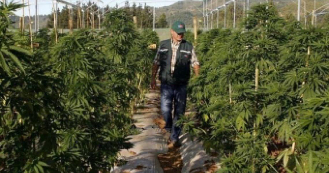 Justiça recua e libera produção de remédios à base de maconha para 14 mil pacientes