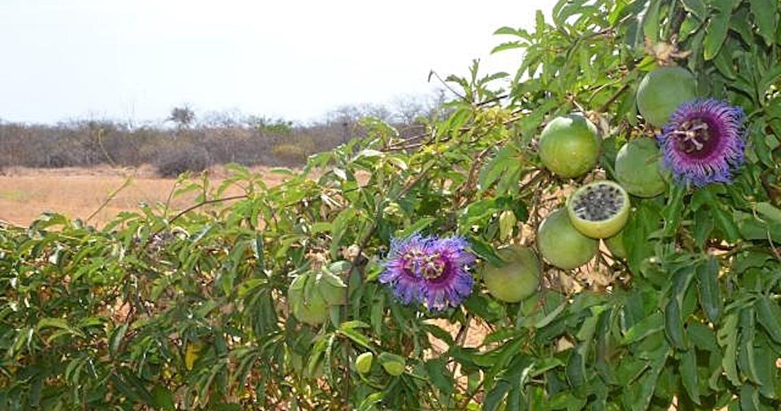 Maracujá da Caatinga: O fruto que brota no clima seco do Semiárido Brasileiro