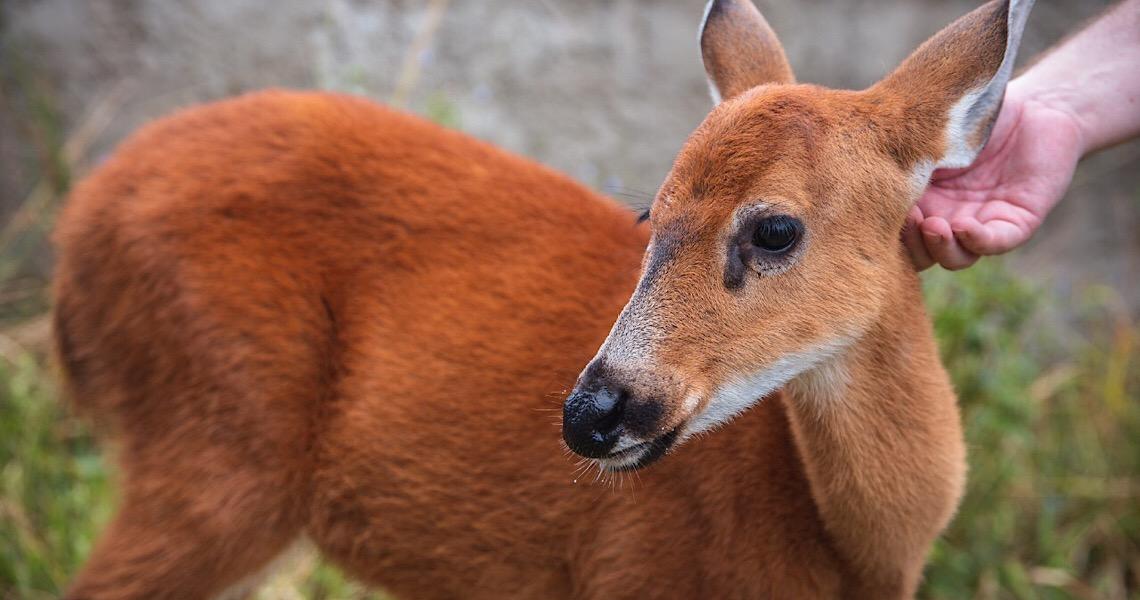 Cervo-do-Pantanal, ameaçado de extinção, chega ao zoo de Brasília