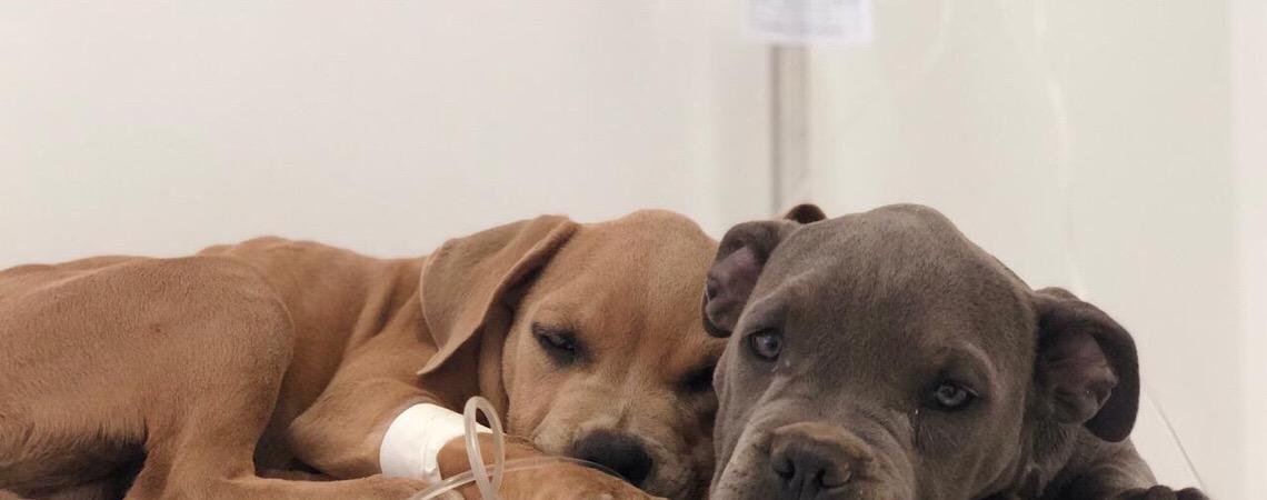 Lei do DF proíbe tatuagens e piercings em animais domésticos