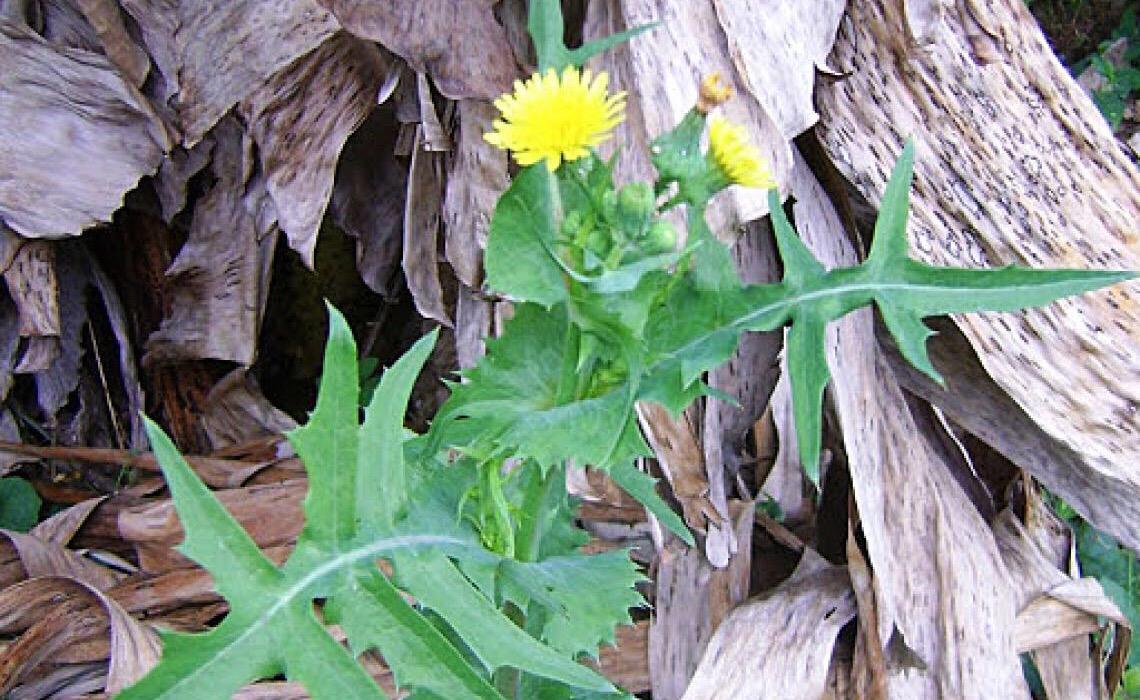 Serralha, que já foi considerada uma planta invasora, é rica em vitaminas e proteínas
