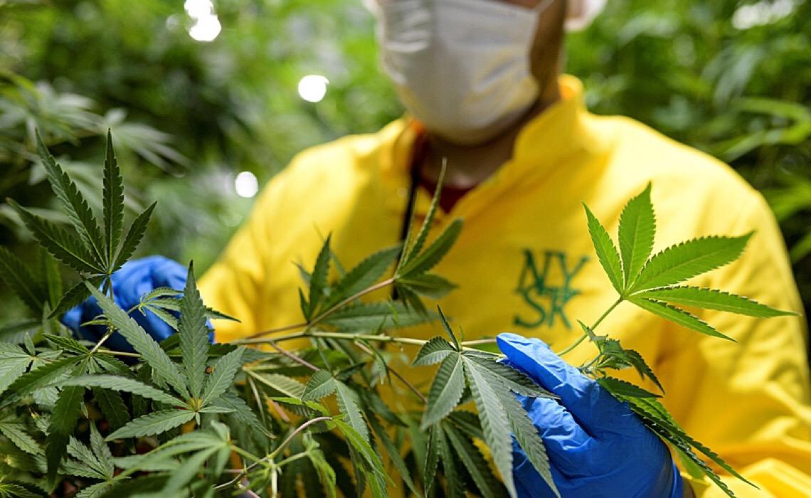 Medicamentos à base de Cannabis podem beneficiar 6 milhões de pacientes no Brasil