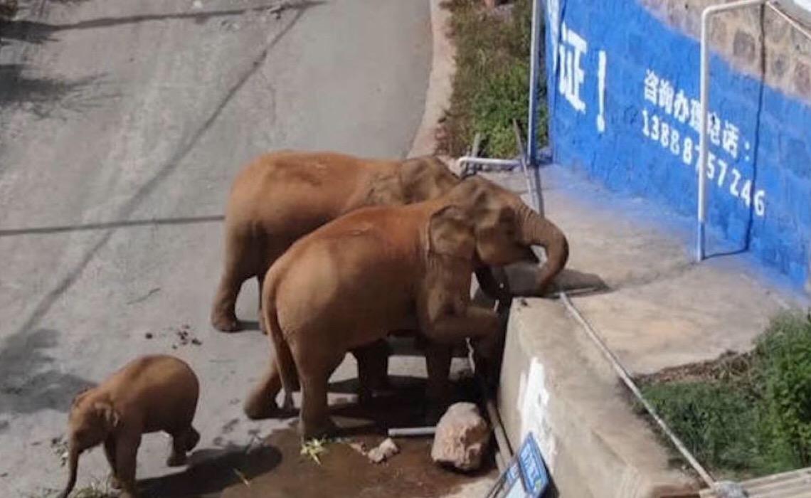 Manada de elefantes permanece em grande cidade chinesa