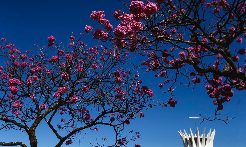 Aplicativo gratuito cria rota dos ipês em Brasília e estimula visitação