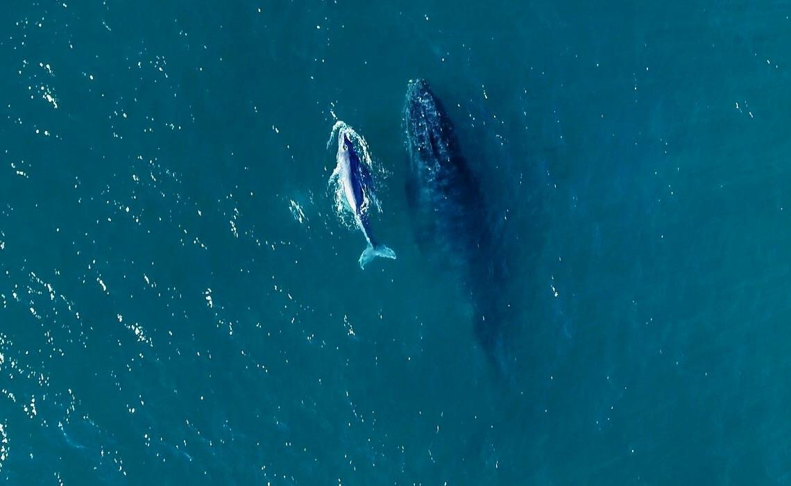Começou neste mês a temporada de baleias no litoral brasileiro