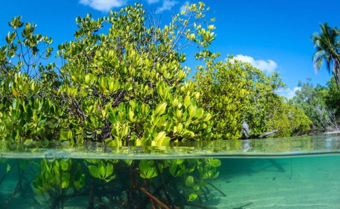 Manguezais absorvem até cinco vezes mais CO2, mas desaparecem com rapidez