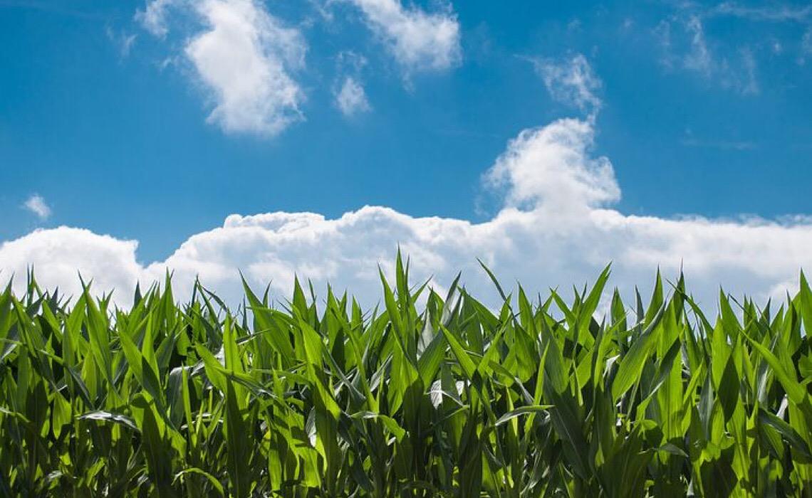 Conab: Área entre RS e sul de SP pode ter geadas; milho e trigo estão vulneráveis