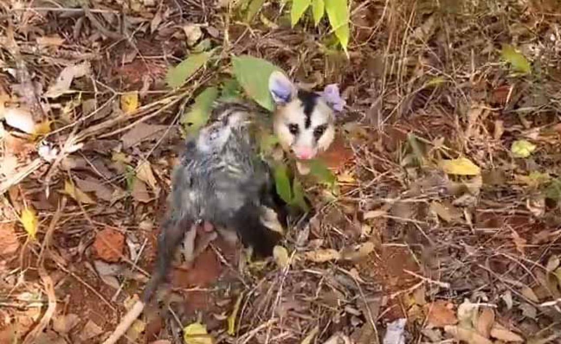 Em Brasília, tempo seco estimula animais silvestres saírem do seu habitat