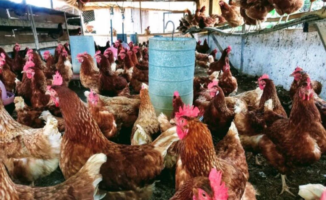 Emater-DF orienta comunidade rural de Planaltina sobre criação de aves