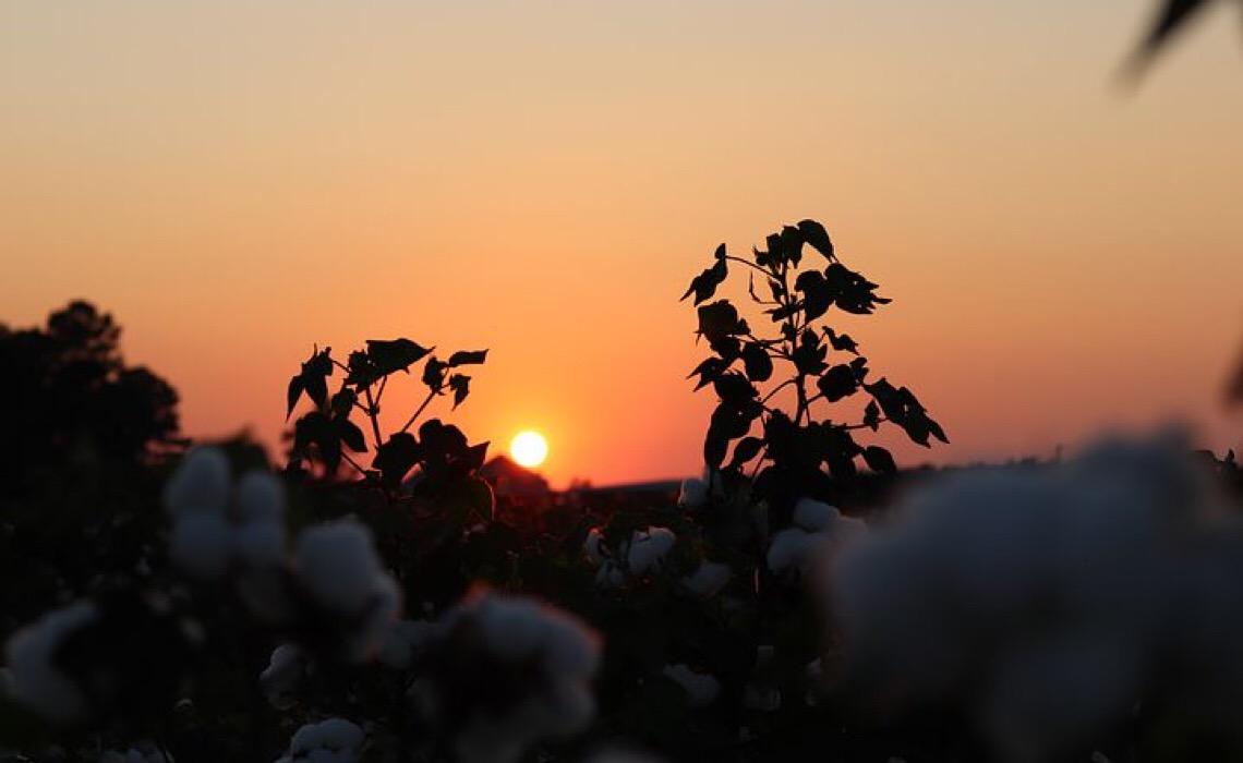 Altas produtividades no algodão passam pelo manejo adequado de pragas e doenças