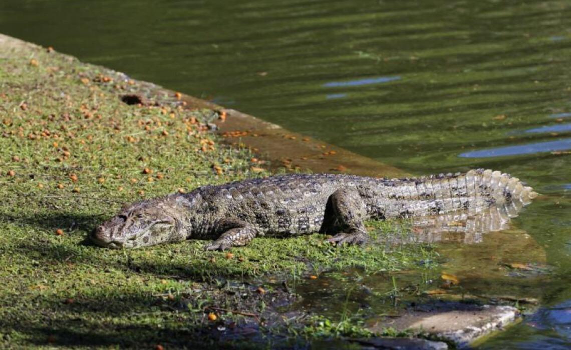 Ação salva 70 jacarés que disputavam poça no Pantanal