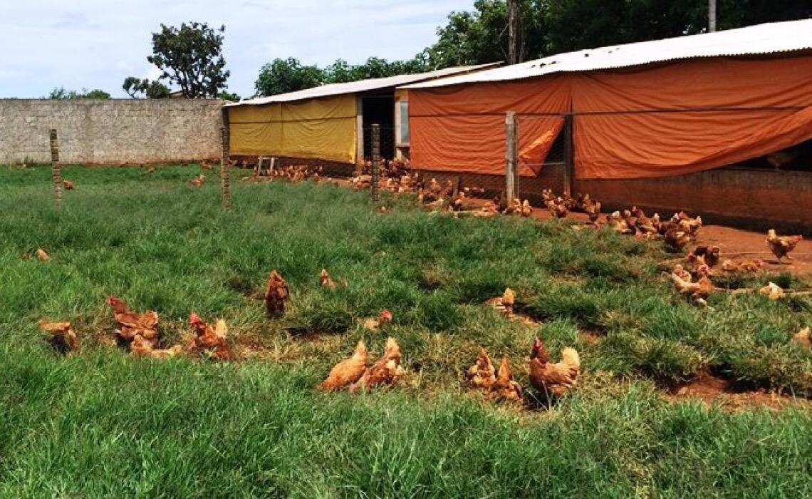 Cresce 180% número de produtores da avicultura