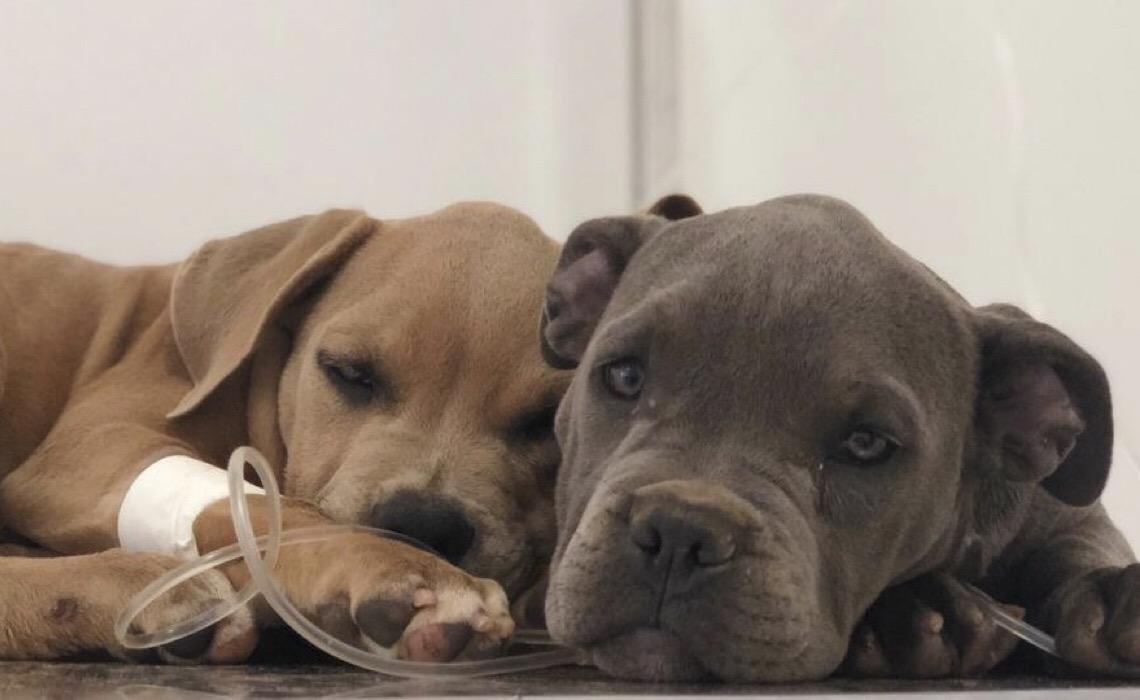 Vacinação gratuita para cães e gatos, nesta sexta-feira