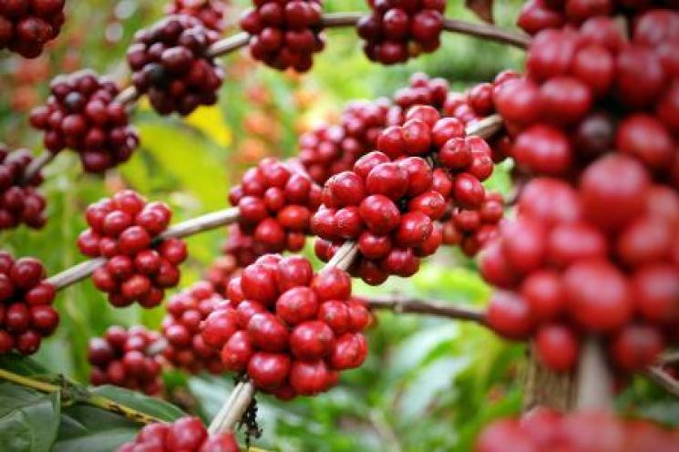 Doença ataca lavouras de café conilon no Espírito Santo