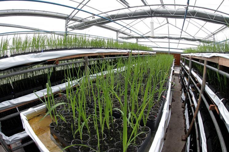 Melhoramento Genético e Biotecnologia na Cana-de-açúcar serão um dos focos de Simpósio